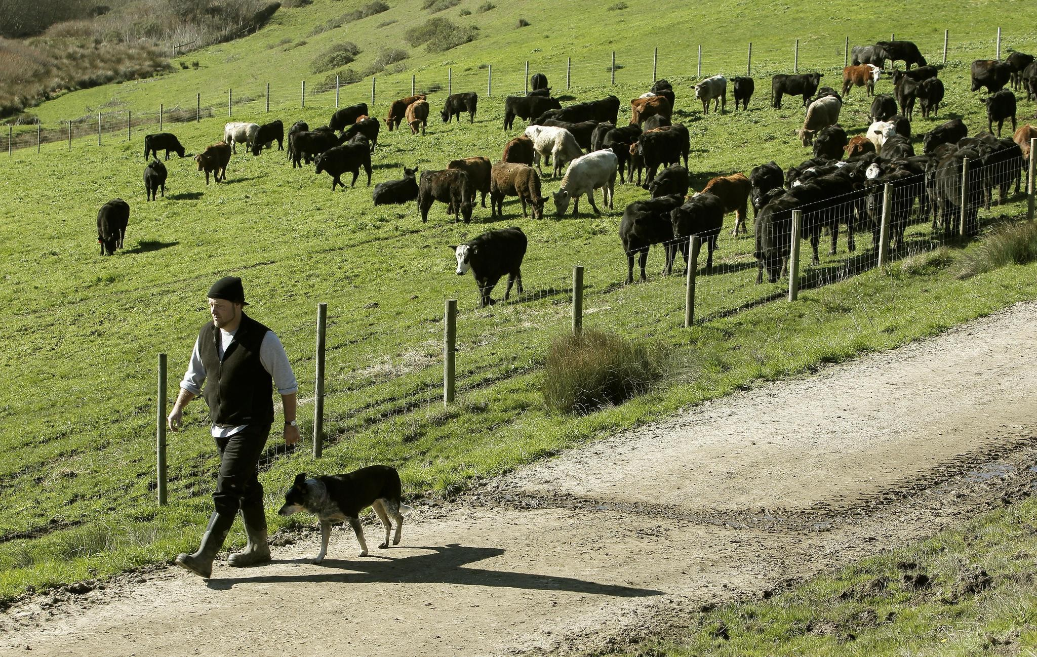 4th generation cattle rancher David Evans tends to his cattle he raises on his Marin Sun Farms, on Thursday Jan, 20, 2011, which is inside the Point Reyes National Seashore.